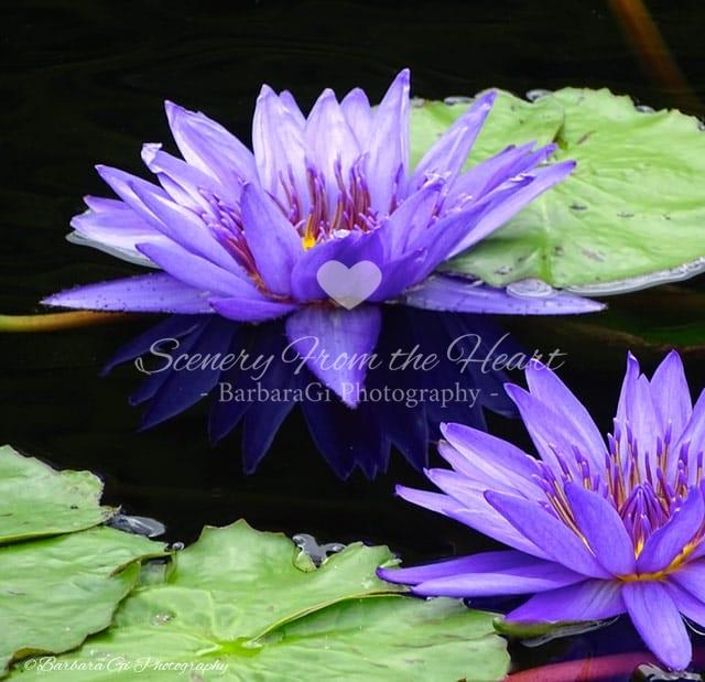 Waterlilies photography by Barbara Gi