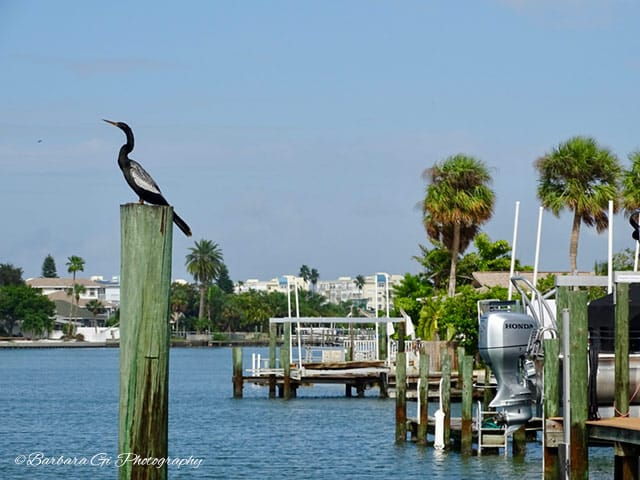 anhinga on the Intercoastal Waterway